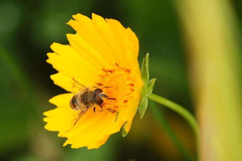 A abelha na flor amarela