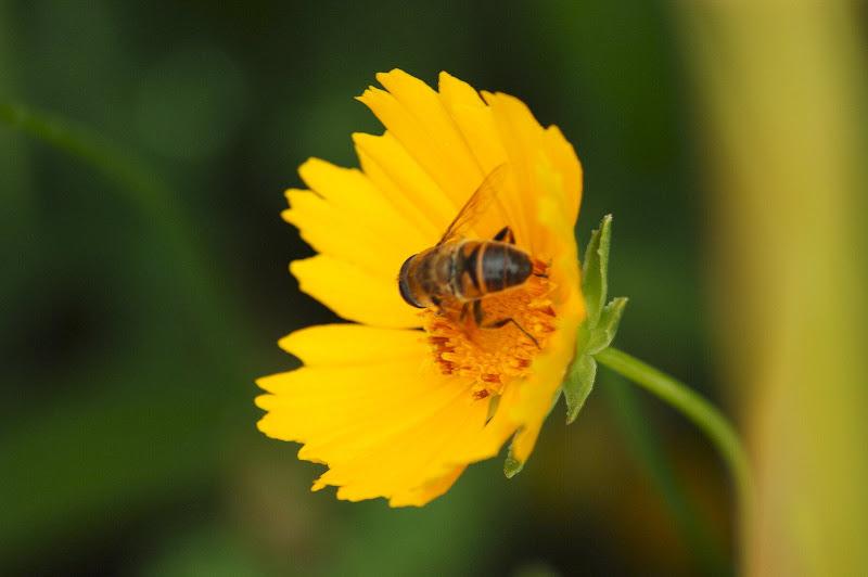 A abelha e a flor amarela