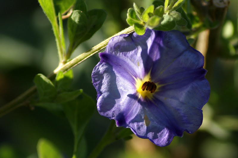 Flores, contraluz, Lilás