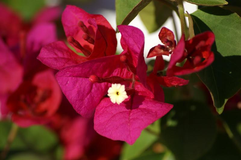 Bungavillia