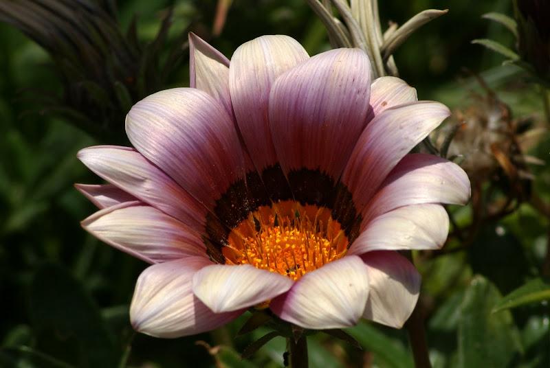 Lilás e rosa..flor