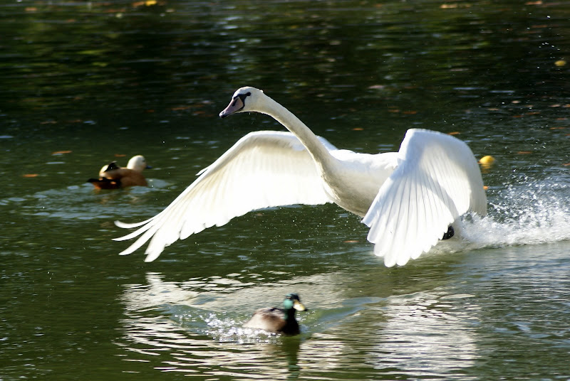 Cisne no Jardim do Bomfim em Setúbal