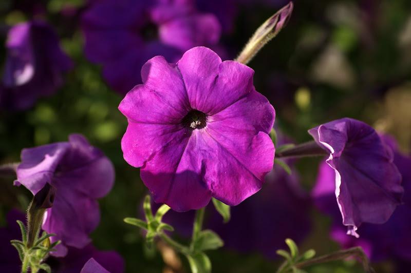 Purple.. flores lilás