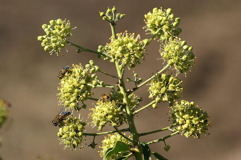 Os sirfídeos e a flor de hera