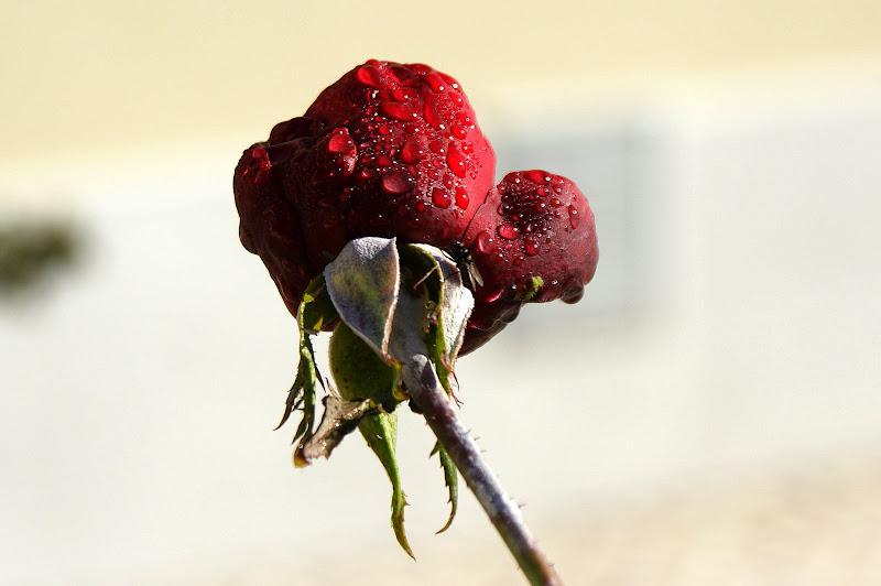 Rosa molhada