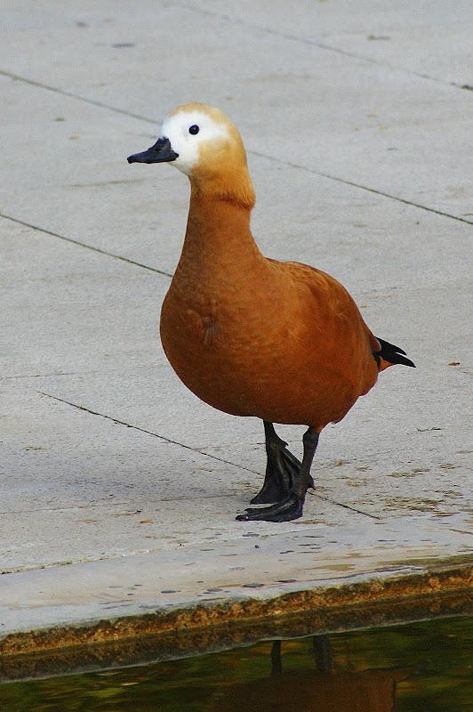 Pato laranja