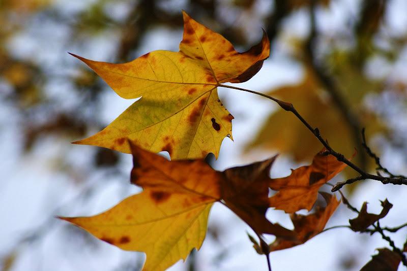 Cores do outono, folhas de platano