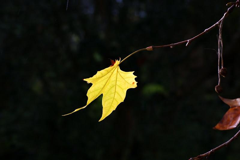 Folhas de platano no Outono
