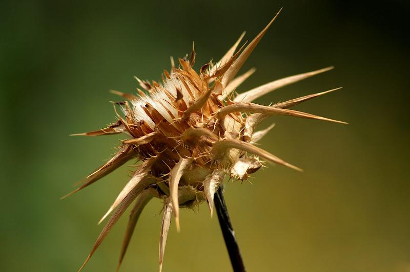 Flor de cardo seca