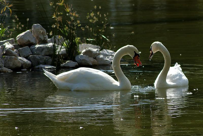 Os cisnes do Bonfim