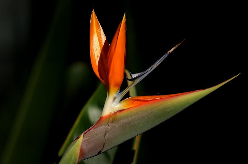 Flor do paraiso
