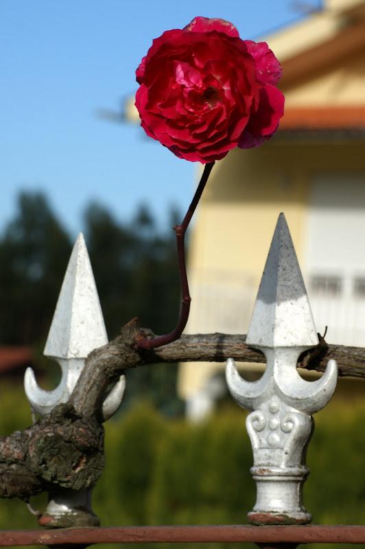 A última rosa