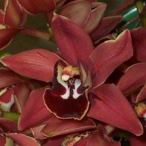 Chocolate cymbidium orchid photo