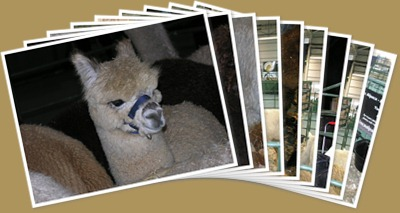 View The British Alpaca Futurity 2010 alpacas