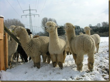 Ambersun Alpaca males in Germany