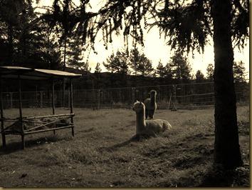 alpacas day one 051