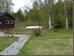 Alpakkaene inn i hagen 003
