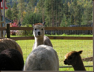 alpacas day one 063
