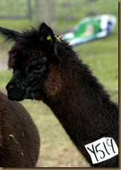 Den intelligente alpakkaen Oprah/Oprah the intelligent alpaca