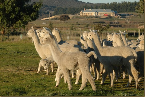 Males from Ambersun Alpacas including Corazon