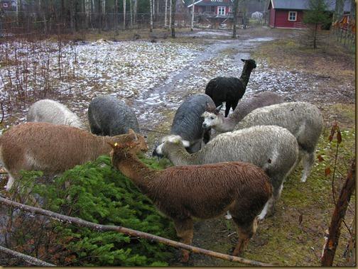 Alpakkahopper spiser furu 010