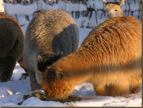 Alpakka: Oasis Gold