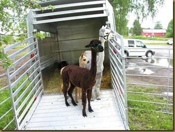 Knapperdagen: alpakkajentene på plass