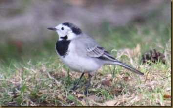 linerle/wagtail