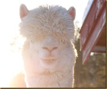 Første nyttårsdag med alpakkahingsten Corazon