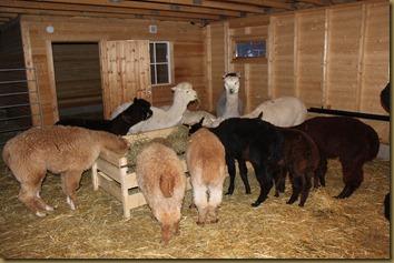 Alpakka: Hoppene og criaene får seg en matbit