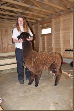 Alpakka: NC Tilt Fandango before shearing/før klipping