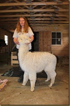 Alpakka: NC Prince Braveheart before shearing/før klipping
