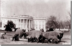 Sheeponthesouthlawn (Small)