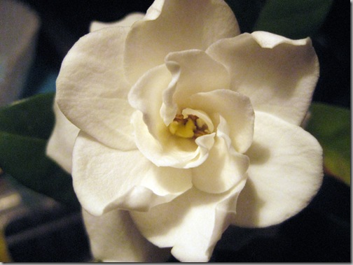 gardenia 004