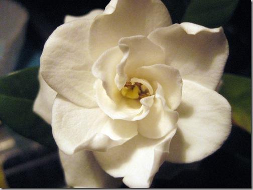 gardenia 004