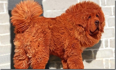 Red-Tibetan-mastiff-