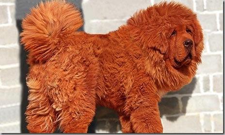 Red-Tibetan-mastiff-