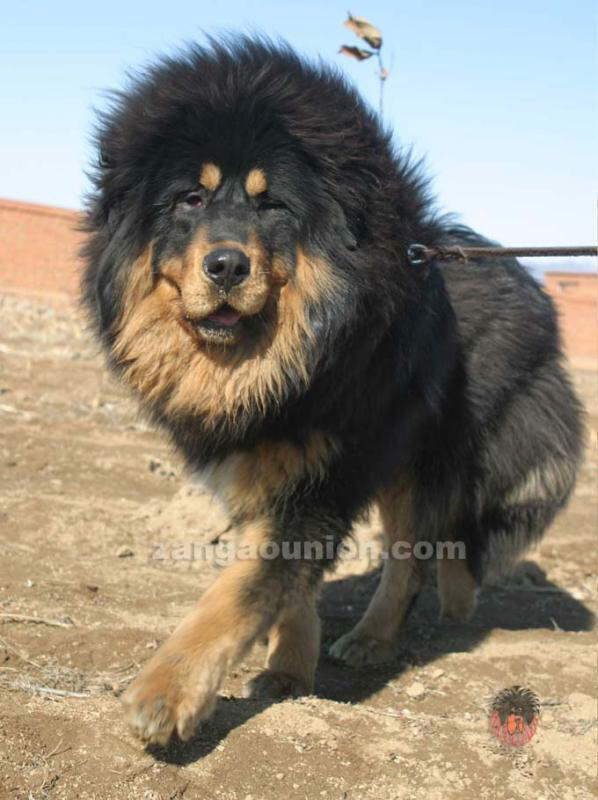 Tibet Dogs...They Look Like Lions..........