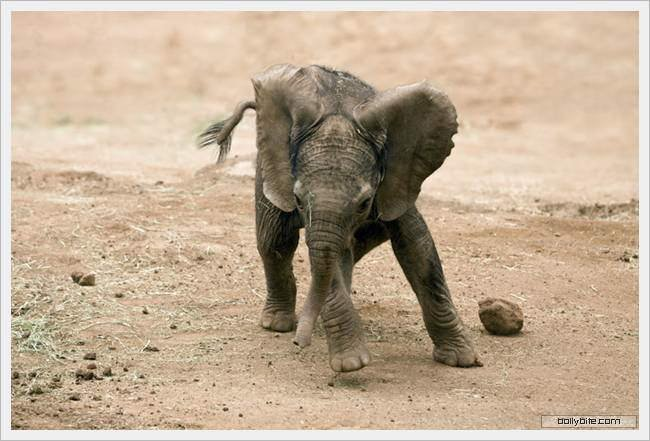 Cute Elephant calf...