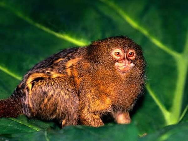 The Smallest Monkeys in the World: Pygmy Marmoset - 5 to 6 inches in length!