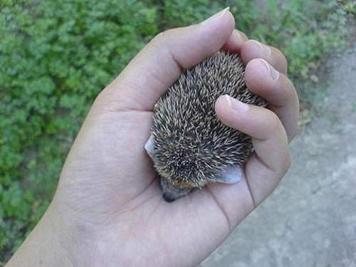 What a Cute Baby Hedgehog