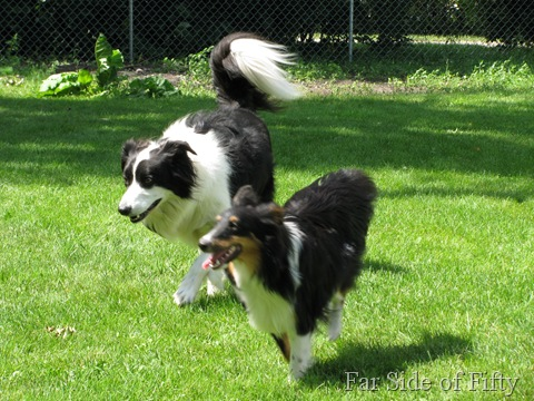 Chance and Elvis running