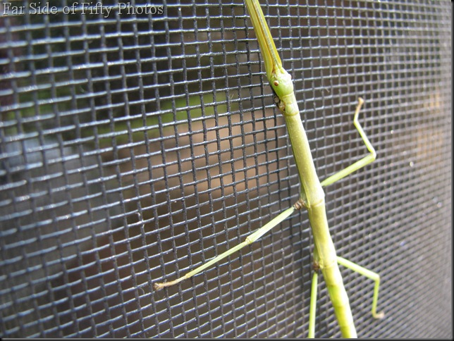 Walking Stick Two