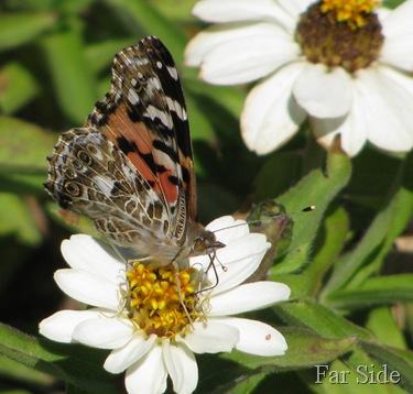 Painted Lady Butterfly on a White Zinnia