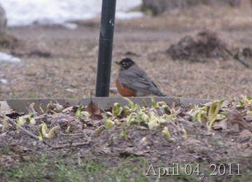First Robin April 4 7PM