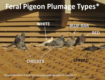 Plumage Types1