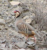 chukar2