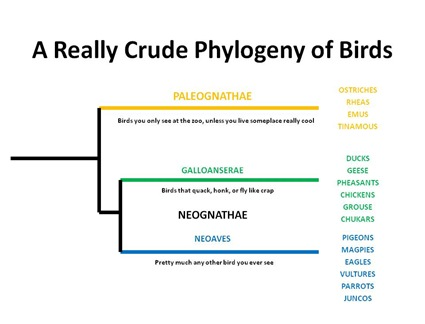 Bird Phylog