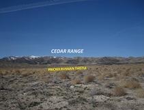Cedar Thistle