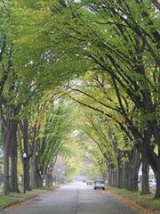 American-Elm lines street